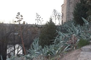 Agave americana en los alrededores del Puenta de San Martín (Toledo)