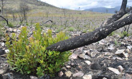¿Qué son las especies pirófilas o pirófitas? Adaptaciones a los incendios