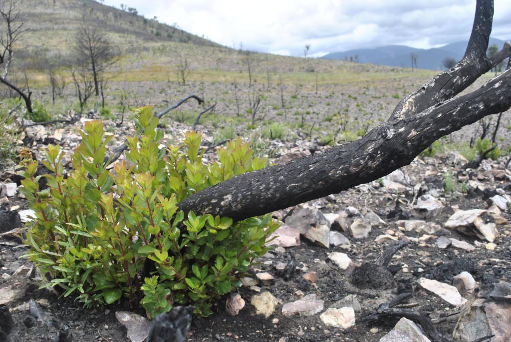 Madroño rebrotando (Especie pirófita rebrotadora) tras un incendio forestal