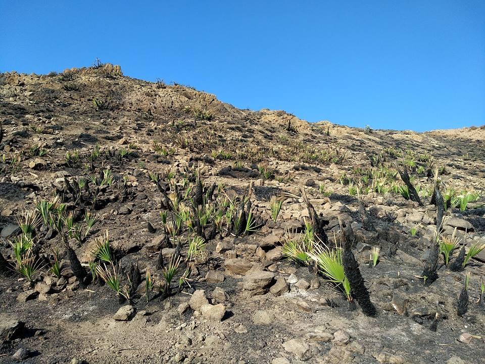 Palmito rebrotand tras incendio en Cabo de Gata