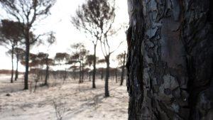 Árboles quemados tras incendio en Doñana