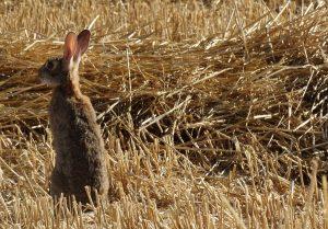 Conejo de monte en el Parque Nacional de Cabañeros