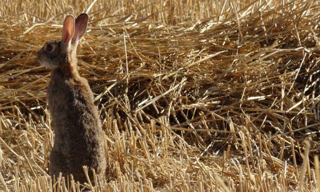 ¿Por qué no hay conejos en el Parque Nacional de Cabañeros?
