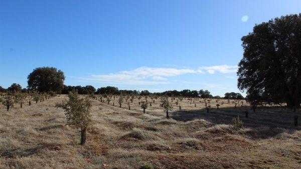 Reforestación con encinas, quejigos y coscojas en hileras y con protectores de plástico.