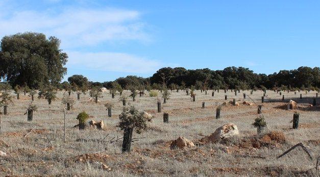 Plantar encinas NO es restauración ecológica del monte mediterráneo