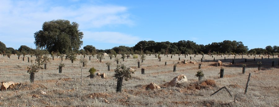 Reforestación de encinas, coscojas y quejigos para restauración ecológica de monte mediterráneo