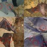 Cotorras de Kramer en Sevilla: un problema grave para el murciélago Nóctulo gigante, con una solución sencilla pero controvertida.