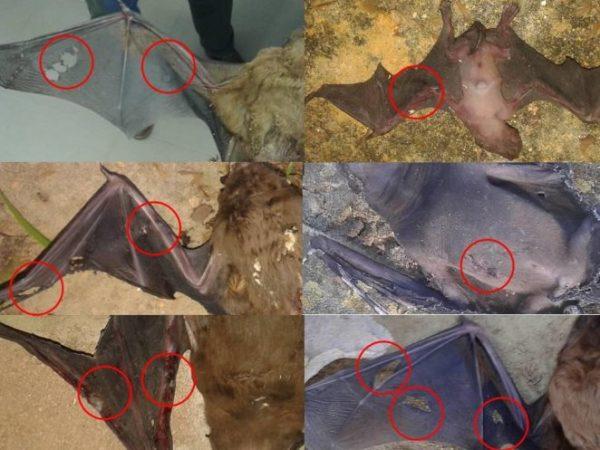 Fotos de murcielagos Noctulos gigantes atacados por cotorra de Kramer en el Parque de Maria Luisa, Sevilla