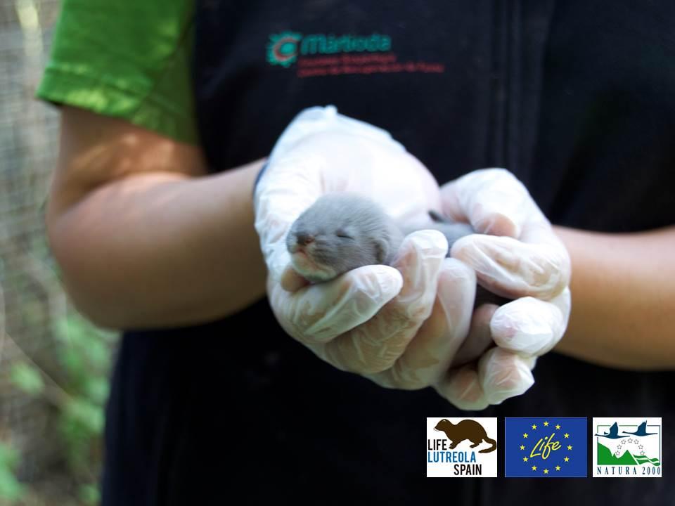 Cachorro de visón europeo para reintroducción. en el programa Life Lutreola España