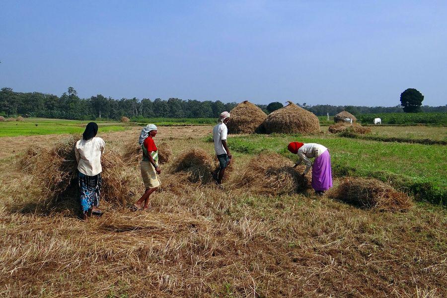 Agricultura del arroz en India. Sitio potencialmente muy afectado por las medidas de mitigación actuales contra el cambio climático
