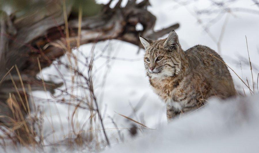 Publicado el listado de especies extinguidas de España que podrían reintroducirse.