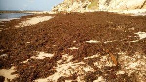 Rugulopteryx okamurae en una playa del Estrecho de Gibraltar