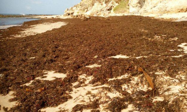 Rugulopteryx okamurae, un alga invasora en el Estrecho de Gibraltar