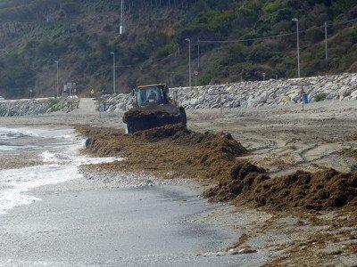 Retirada de arribazones del alga invasora asiática Rugulopteryx okamurae en la playa de Calamocarro (Ceuta)