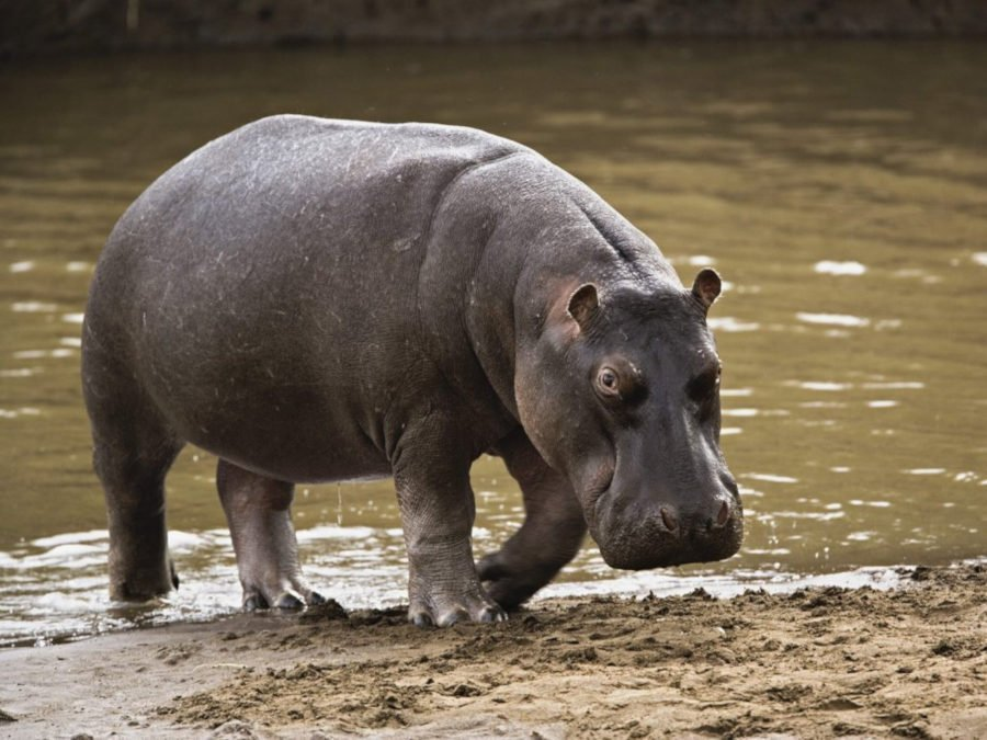 Hipopótamo en el río Mara