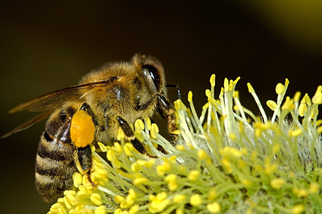 Abejas silvestres vs. abejas melíferas