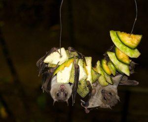 Murciélagos comiendo un trozo de fruta.