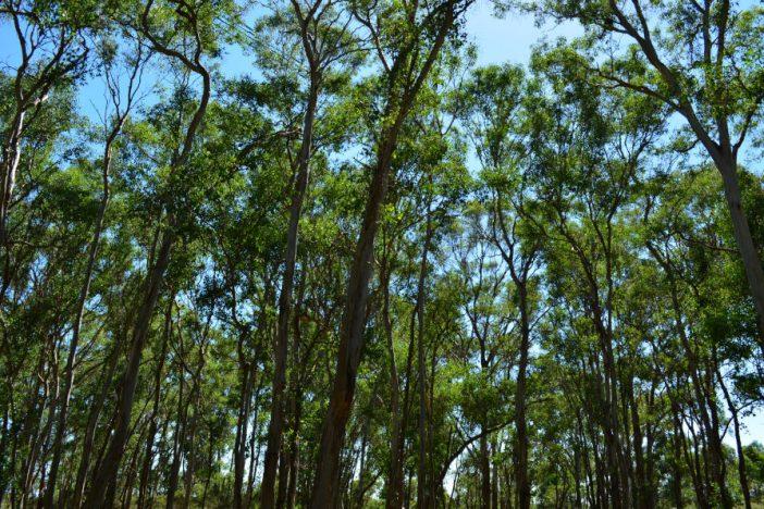 Bosque de eucaliptos donde se ha realizado el estudio