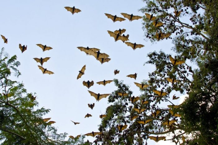 Murciélagos zorros voladores volando entre árboles.
