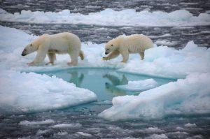 Dos osos poalres caminando sobre el hielo del ártico y balsas de agua fruto del deshielo.
