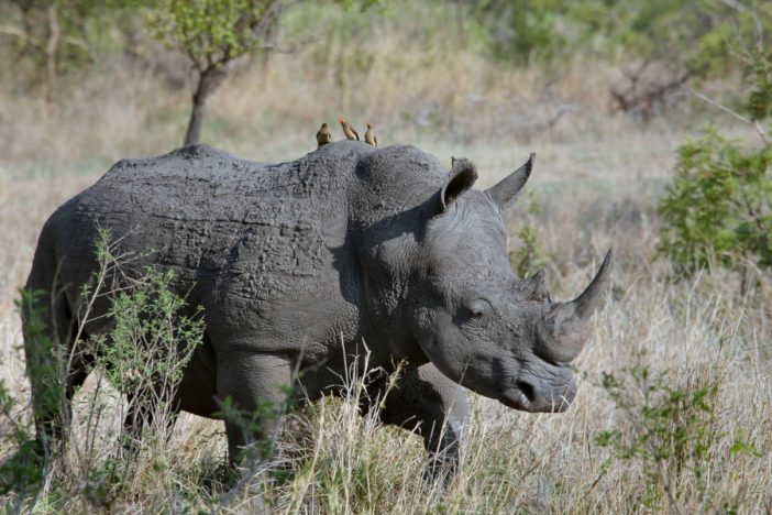 Rinoceronte con picabueyes piquirrojo en su lomo.