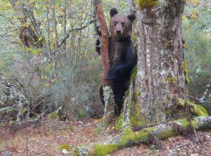 Oso pardo erguido sobre dos patas en un bosque.