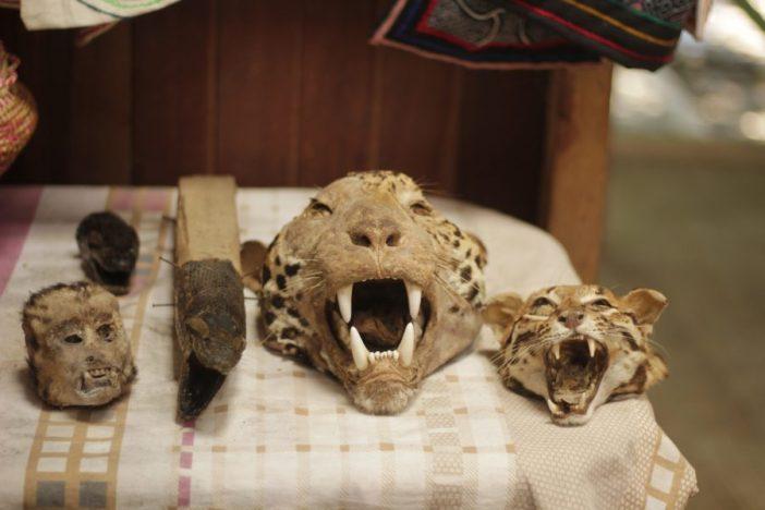 Mercado ilegal peruano. Las especies que aparecen son: un jaguar, un tigrillo y un primate.