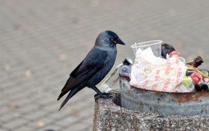 Grajilla sobre un contenedor de basura.
