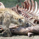 Hiena consumiendo carroña.