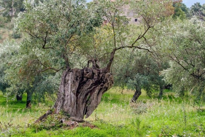 Olivar con amtorral entre los árboles