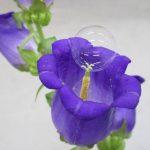 Una pompa de jabón sobre una campanilla (Campanula persicifolia)