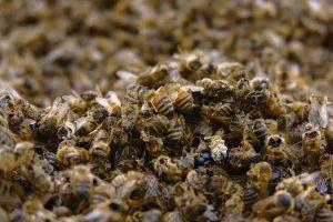 Cientos de abejas muertas.
