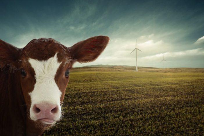 Ternero en campo de cultivo con aerogenedarores