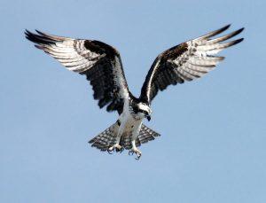 Águila pescadora en vuelo.