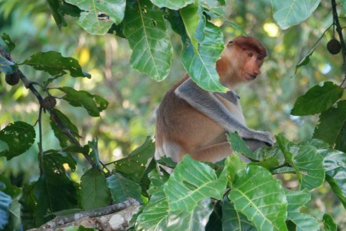 Mono narigudo en un árbol comiendo.