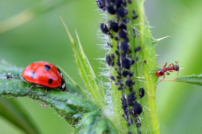 Multitud de pulgones sobre un tallo, alimentándose de la savia. Una hormiga a la derecha de la imagen y una mariquita a la izquierda.