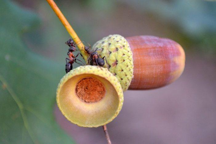 Hormigas sobre una rama con unas bellotas.