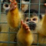 Mono ardilla entre las rejas de una jaula.