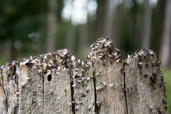 Abejas reina aladas sobre un tronco muerto.