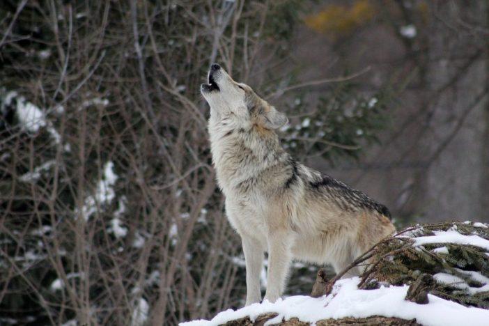 Lobo aullando.