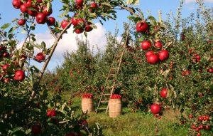 Cultivo de manzanas rojas.