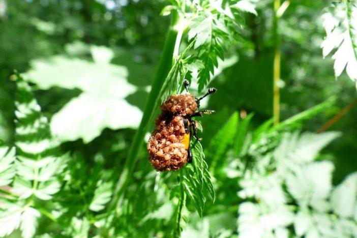 Escarabajo cubierto de ácaros.
