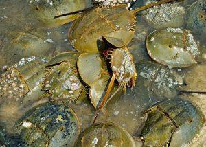 Cangrejos cacerola en el mar.