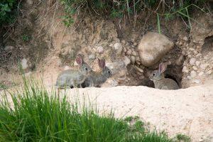 Conejos en la entrada de una madriguera.
