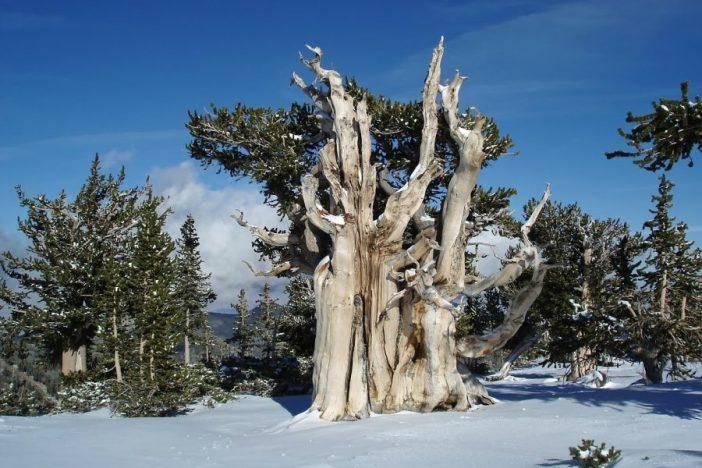 Pino longevo en una colina nevada.