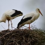 Dos cigüeñas en un nido.