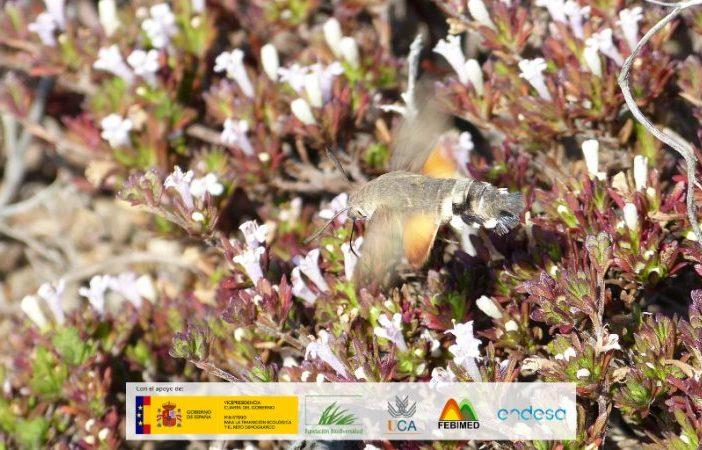 Esfinge colibrí volando sobre flores.