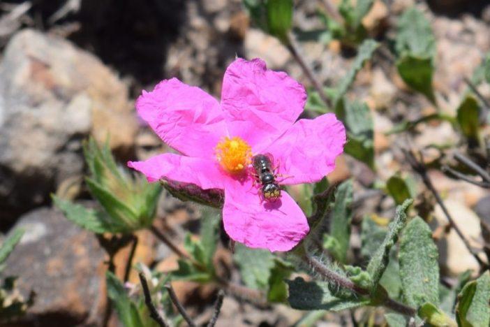 Flavipanurgus venustus posada sobre una flor de Cistus crispus. Por Álvaro Pérez Gómez.