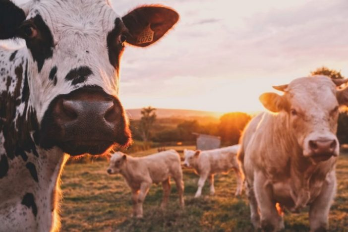 Ganado de ganadería extensiva.