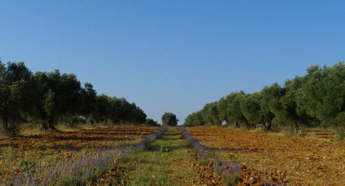El olivar de miel es un policultivo que consiste en poner setos de aromáticas entre hileras de olivos, en este caso lavanda.